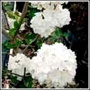 Chinese Snowball Tree
