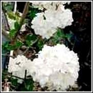 Chinese Snowball Tree