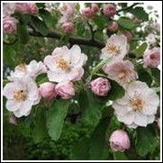 Klehm's Bechtel Flowering Crabapple Tree