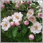 Klehm's Bechtel Flowering Crabapple Tree