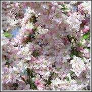 Pink Perfection Flowering Crabapple Tree