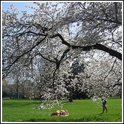Spring Snow' Flowering Crabapple Tree