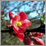 Wine Red 'Eleyi' Flowering Crabapple Tree