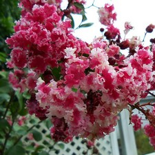 Buy Dwarf Peppermint Crape Myrtle From Ty Ty Nursery