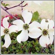 Weaver Select White Dogwood Tree