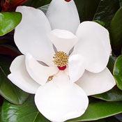 Magnolia grandiflora 'Teddy Bear'