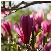 Japanese Magnolia Trees For Sale At The Lowest Prices At Ty Ty Nursery