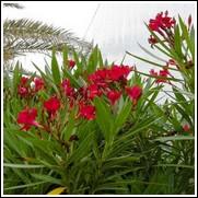 Firestarter Red Oleander
