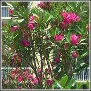 Medium Red Oleander