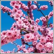 Helen Borchers Flowering Peach Tree