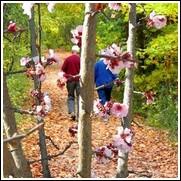Double Newport Flowering Plum Tree