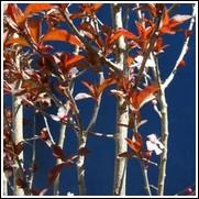 Newport Flowering Plum Tree
