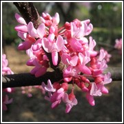 Appalachian Red Redbud Tree