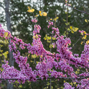 Flame Redbud Tree