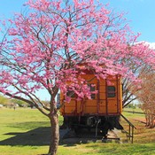 Buy Oklahoma Redbud Trees