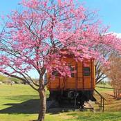 Buy Oklahoma Redbud Trees