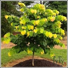 Buy Rising Sun Redbud Tree From Ty Ty Nursery