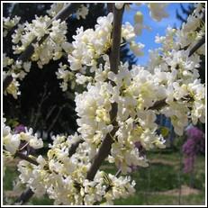 Buy Texas White Redbud Tree From Ty Ty Nursery
