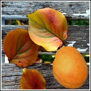 Moorpark Apricot Tree