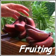 Jamaican Red Dwarf Banana Tree