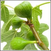 Green Ischau Fig Tree