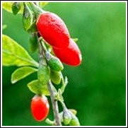 Buy Dynamite Goji Berry Trees