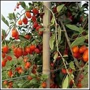 Buy Goji Berry Plants Goji Berry Plant Nursery Sale