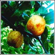Sherwood Jujube Tree