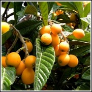 Loquat Tree Nurssery