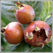 Breda Giant Medlar Tree