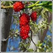 Gelato Red Mulberry Tree