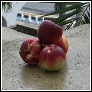 Red Chief Nectarine Tree