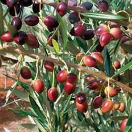 Koroneiki Olive Tree From Ty Nursery