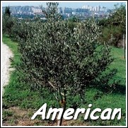 Lucca Olive Tree