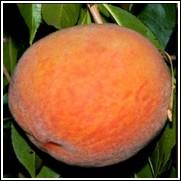 Loring Peach Tree