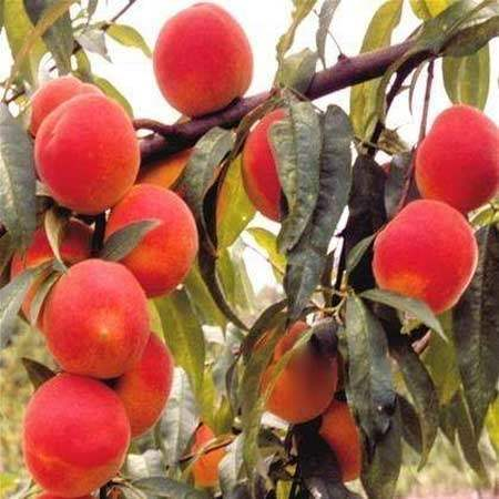 Peach Trees for Sale at the Lowest Prices at Ty Ty Nursery