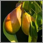 Baldwin Pear Tree