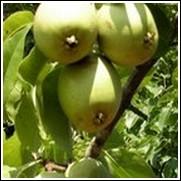 Leconte Pear Tree