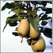 Moonglow Pear Tree