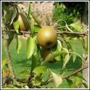 Korean Giant Asian Pear Tree