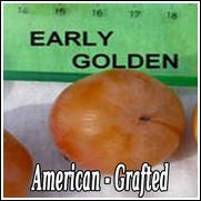 Early Golden American Persimmon Tree