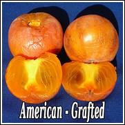 Prairie Star<sup>TM</sup> American Persimmon Tree