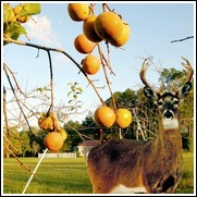 Japanese Wildlife Persimmon Tree