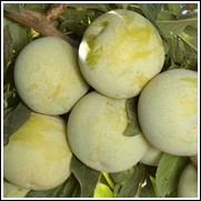 Buy Flavor Queen Pluot Trees