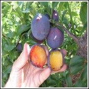Buy Spring Satin Pluot Trees