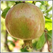 Babylonian White Pomegranate Tree