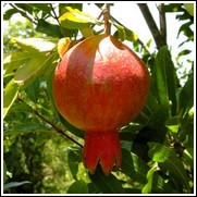 Grenada Pomegranate Tree