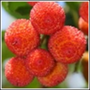 European Arbutus Strawberry