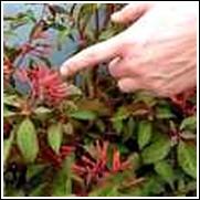 Firebush Perennial