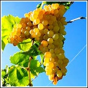 Niagara Bunch Grape Vine